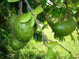 durian belanda3